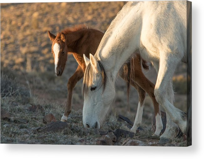 Horse Acrylic Print featuring the photograph Watching Mom by Kent Keller