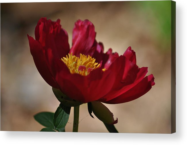 Flower Acrylic Print featuring the photograph Watercolor Beauty by Amy Larson