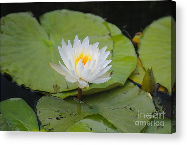 Flower Acrylic Print featuring the photograph Waterlilies by Miguel Celis
