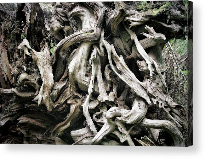 Roots Acrylic Print featuring the photograph Weathered Roots - Sitka Spruce Tree Hoh Rain Forest Olympic National Park Wa by Christine Till