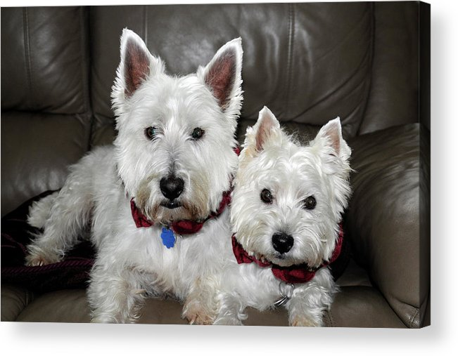Dogs Acrylic Print featuring the photograph Westie World by Geraldine Alexander