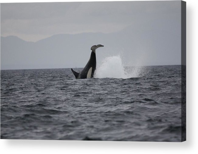 Acrylic Print featuring the photograph Whale by John Pensis