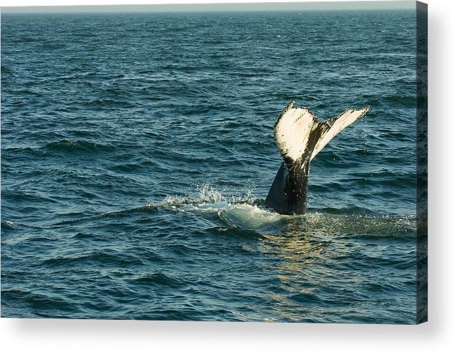 Whale Acrylic Print featuring the photograph Whale by Sebastian Musial