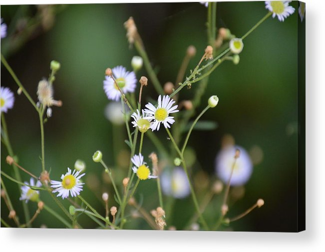 White Acrylic Print featuring the photograph White Flowers by Hannah Tanner