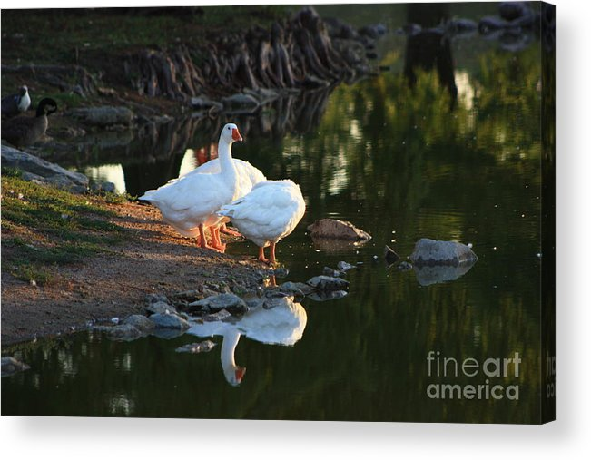 Geese Acrylic Print featuring the photograph White Geese In A Park With Water Reflection by Robert D Brozek