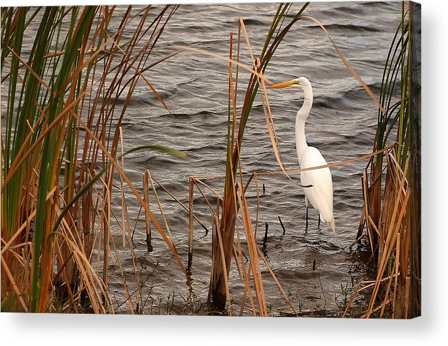 White Heron Acrylic Print featuring the photograph White Heron by Mandy Wiltse