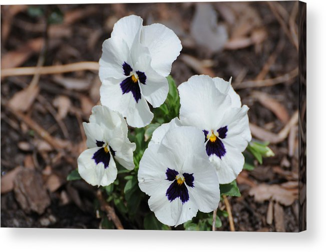 Pansy Acrylic Print featuring the photograph White Pansies by Terese Loeb Kreuzer