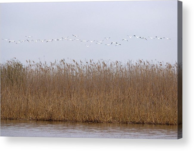 White Pelicans On Lake Acrylic Print featuring the photograph White Pelicans Fly Over Reed Bed On Lake by Cliff Norton