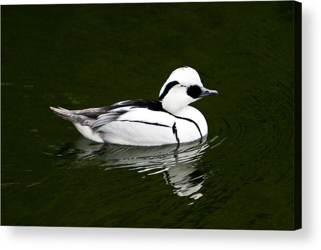 White Acrylic Print featuring the photograph White Smew Duck On Silver Pond by Douglas Barnett
