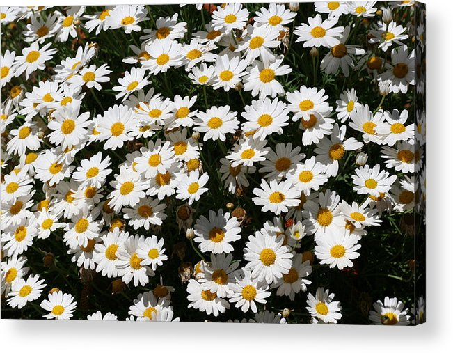 White Acrylic Print featuring the photograph White Summer Daisies by Christine Till