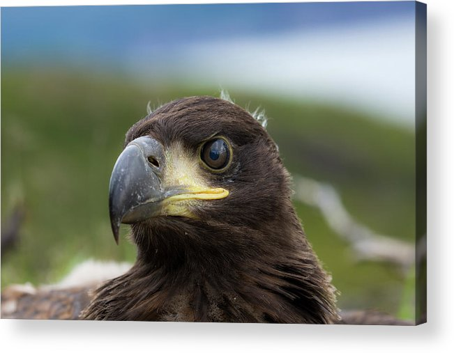 Eagle Acrylic Print featuring the photograph White-tailed Eagle #1 by Alfred Lucas