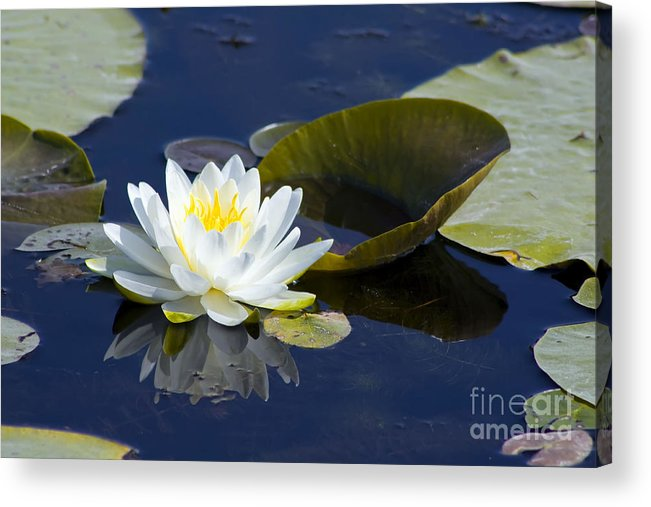 Flower Acrylic Print featuring the photograph White Waterlily by Teresa Zieba