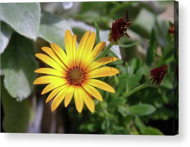 Flowers Acrylic Print featuring the photograph Wide Open In Bloom by Jeff Swan