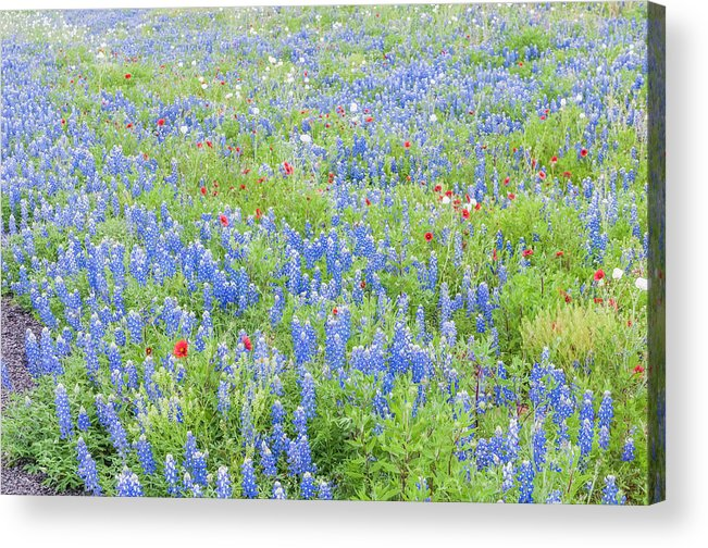 Texas Acrylic Print featuring the photograph Wild About Wildflowers Of Texas. by Usha Peddamatham