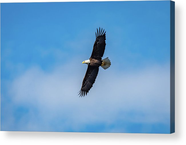 Eagle In Flight Acrylic Print featuring the photograph Wild Blue Yonder by David Irwin