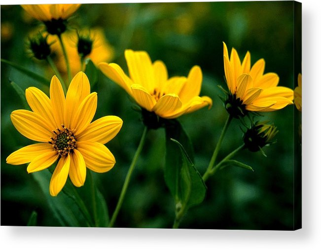Wildflowers Acrylic Print featuring the photograph Wild Daisies by Roger Soule
