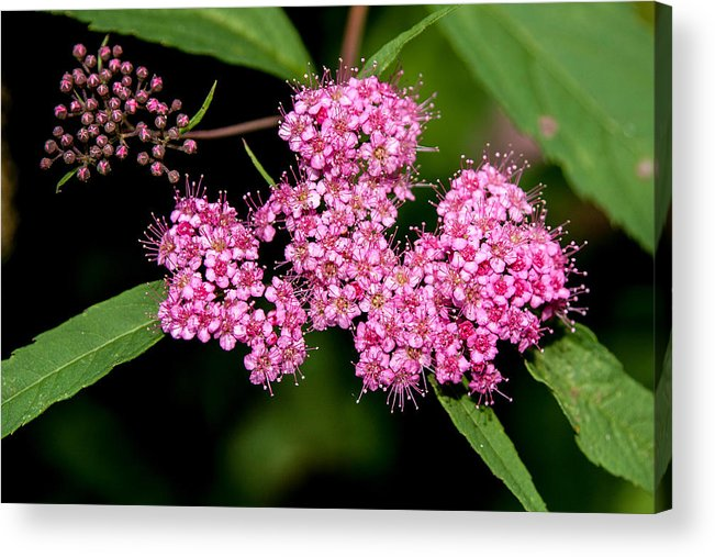 Flower Acrylic Print featuring the photograph Wildflowers Come In Many Sizes by John Haldane