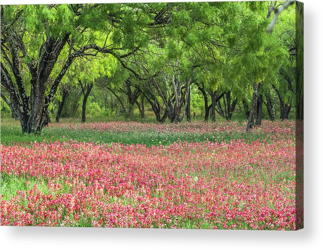 Texas Acrylic Print featuring the photograph Willows,indian Paintbrush Make For A Colorful Palette. by Usha Peddamatham