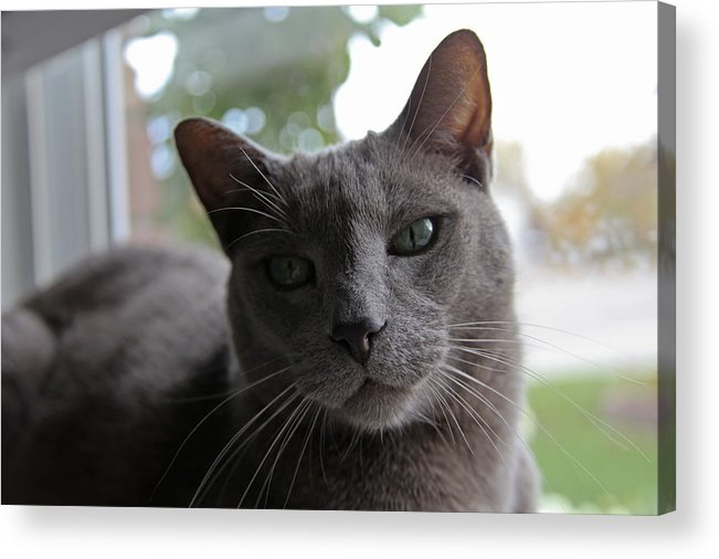 Gray Cat In Window. Fine Art Cat Greeting Cards. Fin Art Cat Canvas Prints. Fine Art Gary Cat Greeting Cards. Gary Cat With Green Eyes. Gray Cat Photography. Cat Photography. Kitten Photography.mixed Media. Mixed Media Photography. Mixed Media Cat Photography. Digtral Cat Art. Digtal Photography. Acrylic Print featuring the photograph Window Time by James Steele