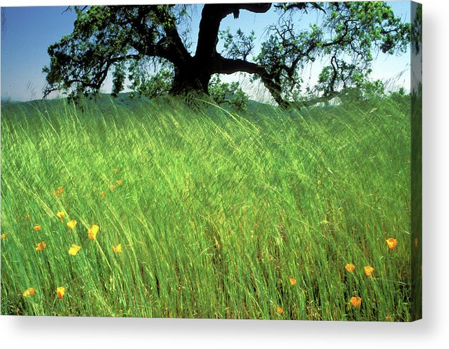 Oak Trees Acrylic Print featuring the photograph Windswept Poppies by Kathy Yates