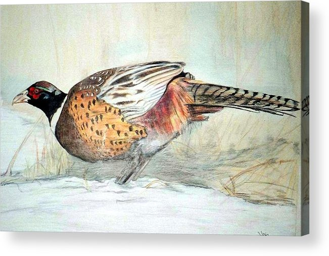 Ringneck Pheasant Acrylic Print featuring the painting Winter Ringneck by Debra Sandstrom