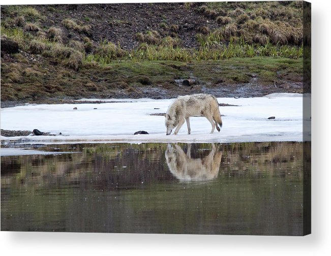 Yellowstone Acrylic Print featuring the photograph Wolflection by Steve Stuller