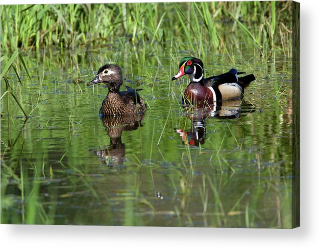 Animal Acrylic Print featuring the photograph Wood Duck Couple by Randall Ingalls