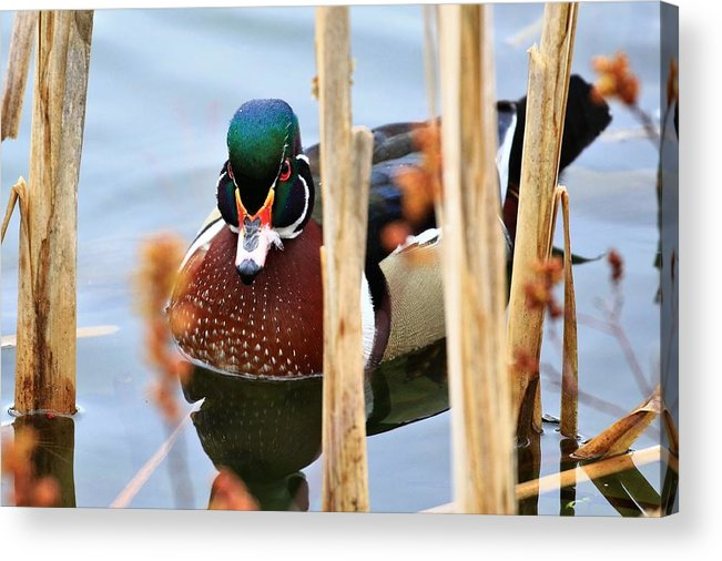 Duck Acrylic Print featuring the photograph Wood Duck In The Reeds by Debbie Storie