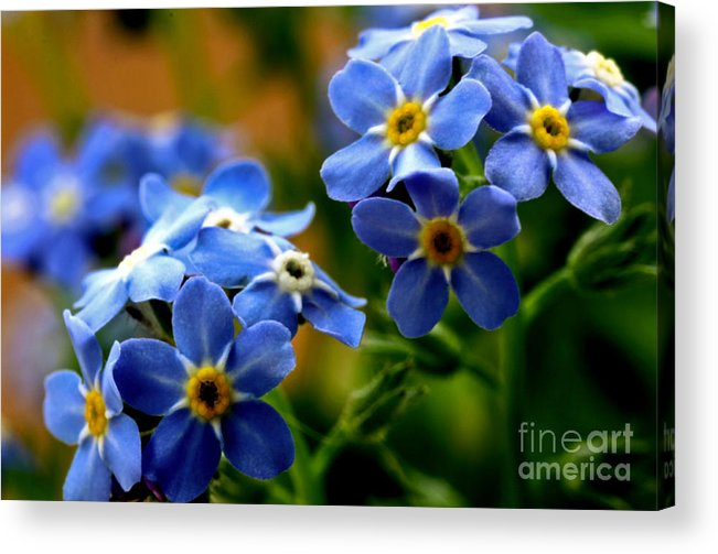 myosotis Sylvatica Acrylic Print featuring the photograph Wood Forget Me Not Blue Bunch by Ryan Kelly