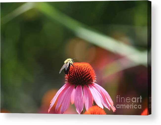 Bee Acrylic Print featuring the photograph Working For Honey by D R Moore