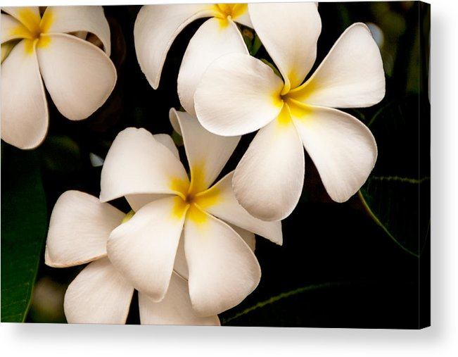 Yellow And White Plumeria Flower Frangipani Acrylic Print featuring the photograph Yellow And White Plumeria by Brian Harig