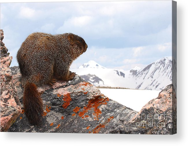 Marmot Acrylic Print featuring the photograph Yellow-bellied Marmot Enjoying The Mountain View by Max Allen