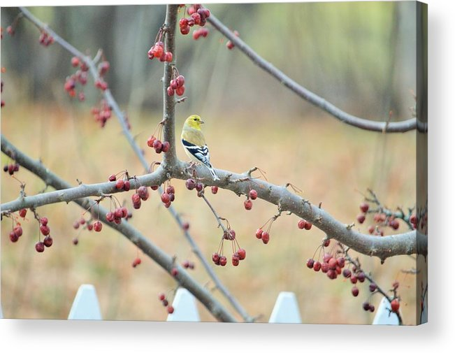 Spring Acrylic Print featuring the photograph Yellow Finch In Crab Apple Tree by Lena Hatch