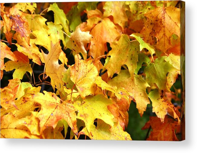 Maple Acrylic Print featuring the photograph Yellow Maple Leaves by Joni Strickfaden