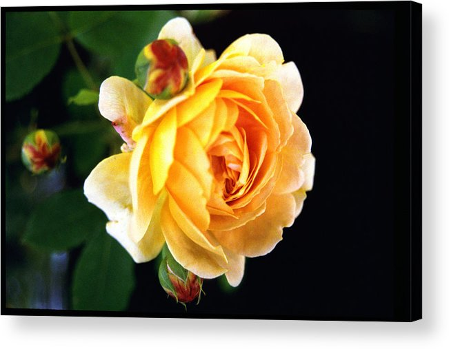 Rose Acrylic Print featuring the photograph Yellow Rose by Paul Trunk