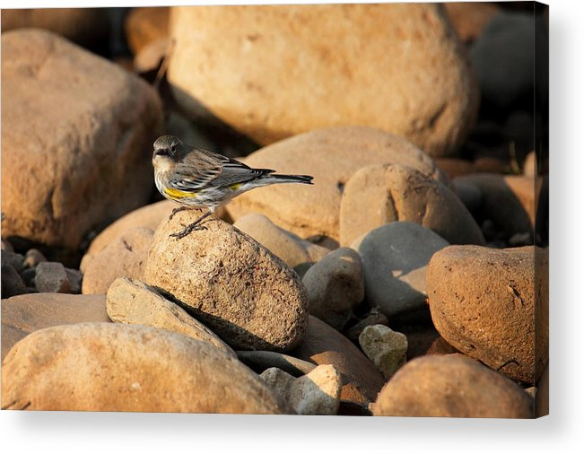 Yellow-rumped Warbler Acrylic Print featuring the photograph Yellow Rumped Warbler On River Rocks by Michael Dougherty