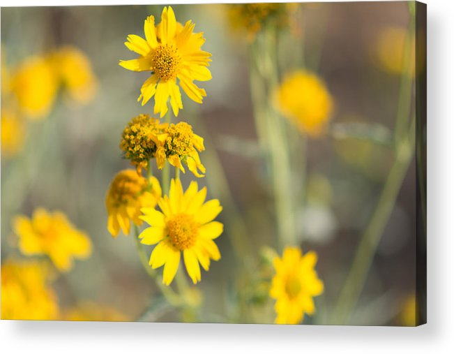 Yellow Acrylic Print featuring the photograph Yellow Wildflowers by Sharon Wunder Photography