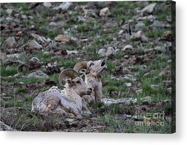 Sheep Acrylic Print featuring the photograph You Are On My Foot by Rodney Cammauf