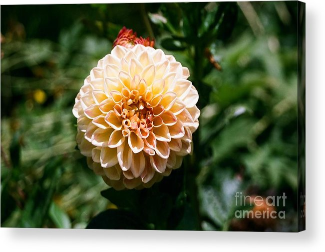 Zinnia Acrylic Print featuring the photograph Zinnia by Dean Triolo