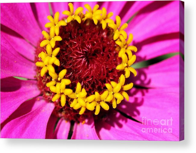 Pink Acrylic Print featuring the photograph Zinnia Macro by Angela Rath