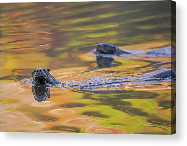 Ottercollection Acrylic Print featuring the photograph North American River Otter Two Swimming, Maine, Usa by George Sanker / Naturepl.com