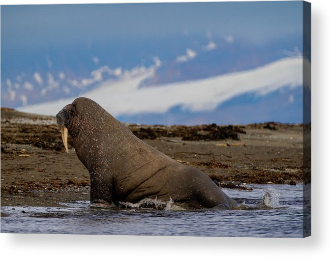 Walrus Acrylic Print featuring the photograph Walrus by Kai Mueller