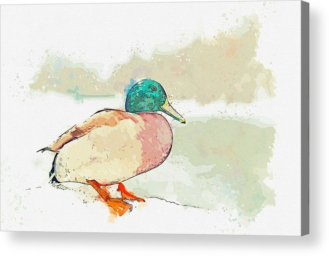 Duck Acrylic Print featuring the painting A Migrating Loon, Oslo, Norway - Watercolor By Adam Asar by Adam Asar