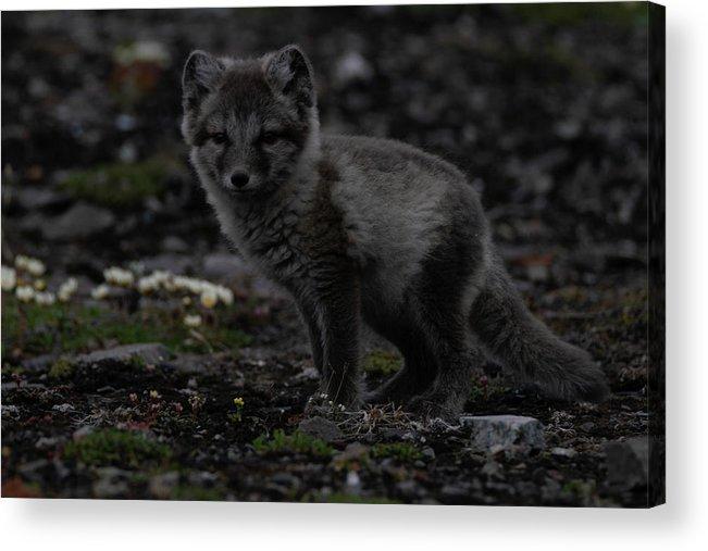Animal Acrylic Print featuring the photograph Arctic Fox by Kai Mueller