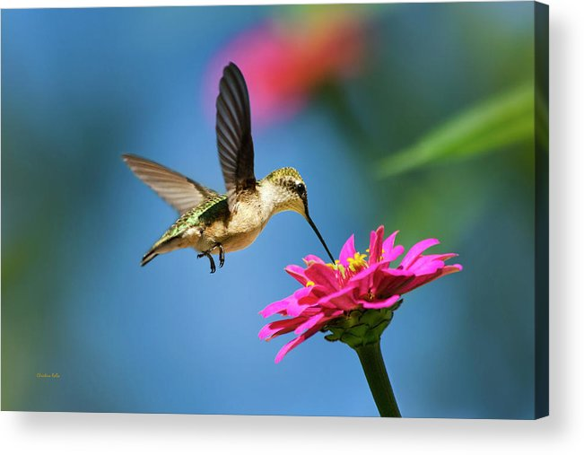 Hummingbird Acrylic Print featuring the photograph Art Of Hummingbird Flight by Christina Rollo