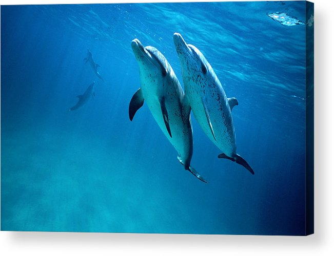 Underwater Acrylic Print featuring the photograph Atlantic Spotted Dolphins, Stenella by Tobias Bernhard