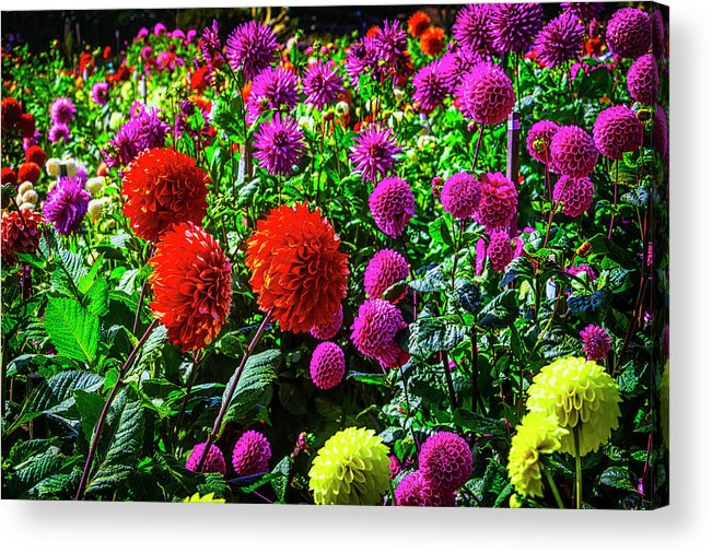 Mood Acrylic Print featuring the photograph Beautiful Dahlia Garden by Garry Gay