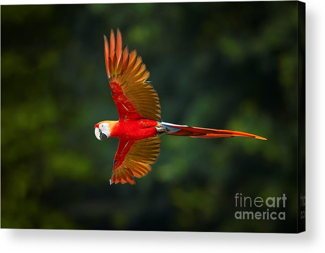 Feather Acrylic Print featuring the photograph Close Up Ara Macao, Scarlet Macaw, Red by Martin Mecnarowski