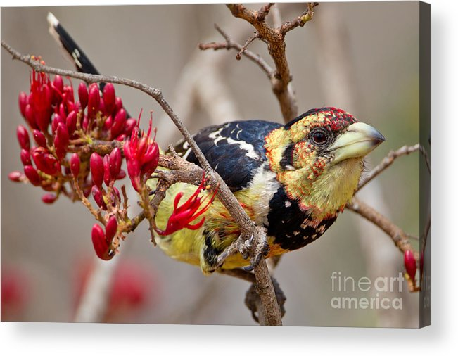 Crested Acrylic Print featuring the photograph Crested Barbet, South Africa by Arnoud Quanjer