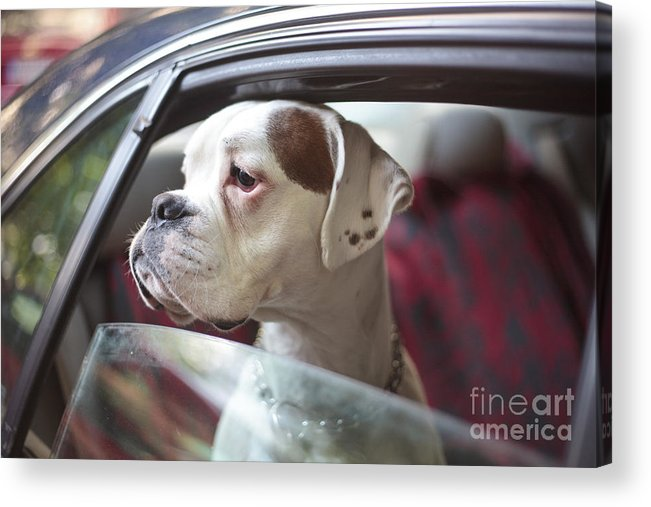 Color Acrylic Print featuring the photograph Dog In A Car by Aerogondo2